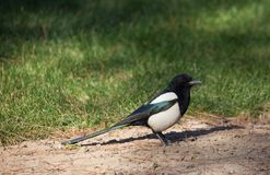 A male magpie. Has more colourful feather comparing to his mate. In China magpie is a kind of beloved bird because people believe it will bring good fortune Royalty Free Stock Photos