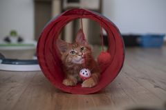 A beautiful maine coon kitten sitting in a cat play tunnel stock photos