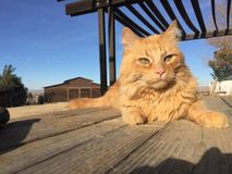 Orange long haired tabby cat perched on picnic table with barn background. Male maine coone kitty relaxing in the sun enjoying ranch life in Paso Robles, central Stock Photography