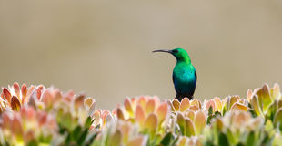 Male malachite Sunbird on protea bush Royalty Free Stock Images