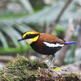 Male Malayan Banded Pitta Royalty Free Stock Photos