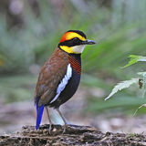 Male Malayan Banded Pitta Stock Image