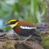 Male Malayan Banded Pitta Royalty Free Stock Images