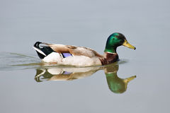 Male mallard Royalty Free Stock Image