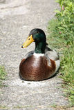 Male mallard Stock Image