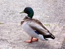 Male mallard. A male mallard Stock Photography