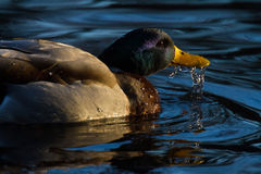 Male Mallard Anas platyrhynchos dabbling Stock Photos