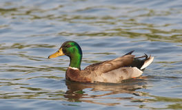 Male Mallard, Anas platyrhynchos, duck Stock Photography