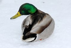 A male mallard Anas Platyrhynchos on the snow. A male mallard on the snow. Russia spring, March Stock Images