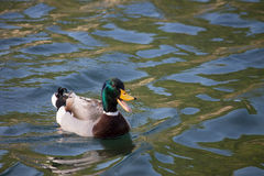 Male mallard Royalty Free Stock Images