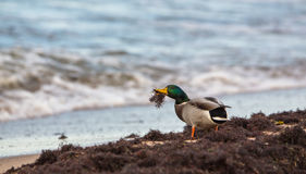 Male Mallard at the Baltic Sea. A male Mallard (Anas platyrhynchos) feeds on seaweed at a beach of the Baltic Sea at Klaipedas, a clear testimony of the high Stock Photos