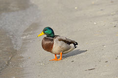 Male mallard on the beach Royalty Free Stock Images