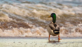 Male Mallard at the beach Stock Photos