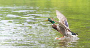 Male Mallard comes in for landing on the Ottawa River. A lone Mallard duck with wings spread, lands like ducks do, on the Ottawa river.  Meets with other ducks Stock Images