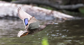 Male Mallard comes in for landing on the Ottawa River. A lone Mallard duck with wings spread, prepares to land on the Ottawa river.  Meets with other ducks in Royalty Free Stock Photo