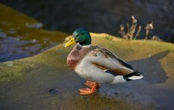 Male Mallard - Drake. Mallard drake standing on rock near the top of a river waterfall Stock Photo