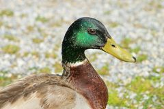 Male mallard duck. Portrait of one male mallard duck Royalty Free Stock Photo