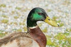 Male mallard duck Royalty Free Stock Photo