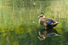 Male mallard duck. Standing in the middle of the pool Stock Image