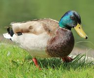 Male mallard duck Royalty Free Stock Photos