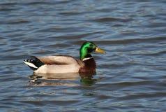 Male Mallard Duck Royalty Free Stock Photography