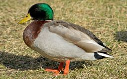Male Mallard Duck. Brightly colored male Mallard Duck Royalty Free Stock Photography