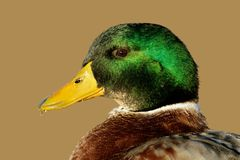 Male Mallard duck. Portrait of a colorful male Mallard duck (Anas platyrhynchos Stock Photography