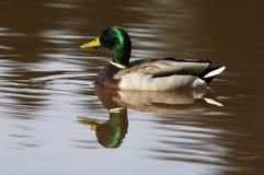 Male Mallard Duck Stock Images