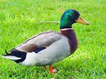 Free Male Mallard Duck Royalty Free Stock Image - 96709436