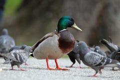 Male mallard duck amongst pigeons Stock Images