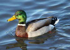 Male mallard duck anas platyrhynchos royalty free stock photos