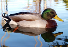 Male Mallard Duck (Anas platyrhynchos). Reflected in the water Royalty Free Stock Photography