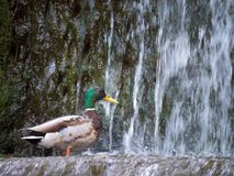 Male mallard duck Anas platyrhynchos above the waterfall. The Male mallard duck Anas platyrhynchos above the waterfall Stock Images