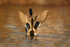 Mallard Duck Flapping his wings in Fall at Dusk royalty free stock images