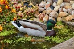 Mallard duck Anas platyrhynchos on a small garden pond. stock images