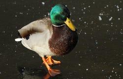 A male Mallard Duck Anas platyrhynchos standing on a frozen lake. A male Mallard Duck Anas platyrhynchos standing on a frozen lake in winter Royalty Free Stock Images