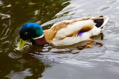 A male mallard duck swims royalty free stock photography