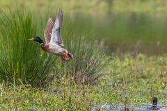 Male mallard duck anas platyrhynchos take off spread wings. Natural male mallard duck anas platyrhynchos take off spread wings Royalty Free Stock Photo