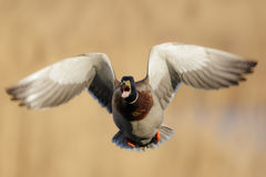 Male Mallard duck (Anas platyrhynchos). Takes to the air while calling Royalty Free Stock Photography