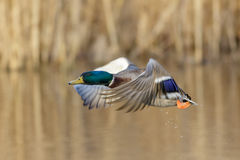 Male Mallard duck (Anas platyrhynchos). Taking off from a wetland reedbed Stock Image