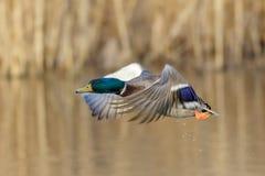 Male Mallard duck (Anas platyrhynchos) Stock Image