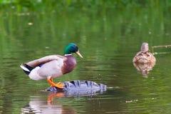 Male mallard duck or Anas platyrhynchus on pond.  Stock Photos