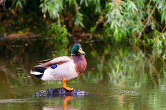 Male mallard duck or Anas platyrhynchus on pond.  Royalty Free Stock Photos