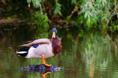 Male mallard duck or Anas platyrhynchus on pond.  Royalty Free Stock Images