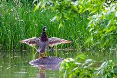 Male mallard duck or Anas platyrhynchus on pond.  Stock Photography