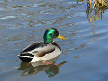 Male Mallard. A duck in beautiful natural habitat Stock Images