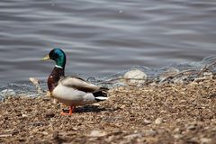 Male Mallard duck in breeding plumage. Single male Mallard Royalty Free Stock Photos