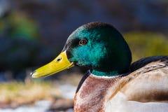 Male mallard duck. Close up of a male mallard fresh water duck in sunshine with glittering green head Stock Photos