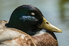 Male mallard duck closeup. Detail of head of a male mallard duck while sleeping Royalty Free Stock Photo