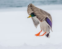 Male Mallard Duck. Coming in for a landing Royalty Free Stock Photography